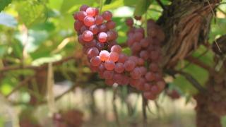 群馬県でぶどう狩り‼ぶどうの摘み取りや食べ放題ができる観光農園12選