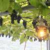 兵庫県でぶどう狩り‼ぶどう食べ放題や収穫体験ができる観光果樹園6選