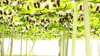 鳥取県でぶどう狩り‼ぶどう食べ放題や収穫体験ができる観光果樹園3選