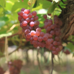 石川県でぶどう狩りを楽しむ‼ぶどう食べ放題ができる観光果樹園3選