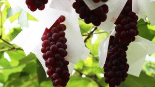 宮崎県でぶどう狩りを楽しもう‼ぶどうの収穫体験ができる観光果樹園7選