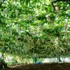 北海道でぶどう狩り‼ぶどうの収穫体験や食べ放題ができる観光果樹園11選