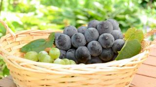 宮城県でぶどう狩り‼ぶどうの収穫体験ができる観光果樹園1選