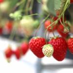 新潟県でいちご狩り‼いちごの食べ放題や収穫体験ができる観光農園20選