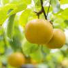 大阪府で梨狩りを体験しよう‼梨の食べ放題が楽しめる観光果樹園1選