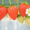 大阪府いちご狩り‼いちごの収穫体験や食べ放題が楽しめる観光農園13選
