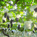 高知県でぶどう狩り‼ぶどうの食べ放題や収穫体験ができる観光果樹園4選