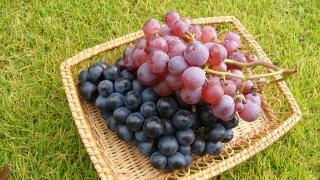 大分県でぶどう狩りを楽しもう‼ぶどうの収穫体験ができる観光果樹園3選