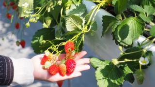 千葉県でいちご狩りを楽しもう‼いちごの食べ放題ができる観光農園30選