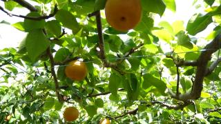 福島県で梨狩りを体験しよう‼福島県で梨の食べ放題が楽しめる観光果樹園11選