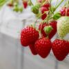 栃木県でいちご狩り‼いちごの食べ放題や収穫体験が楽しめる観光農園23選