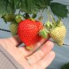 熊本県でいちご狩りを楽しもう‼いちごの食べ放題ができる観光農園12選