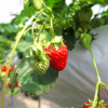 和歌山県でいちご狩りを楽しもう‼いちごの食べ放題ができる観光農園10選