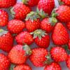 鳥取県でいちご狩り‼いちごの食べ放題や収穫体験が楽しめる観光農園6選
