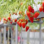 福井県でいちご狩り‼いちごの食べ放題や収穫体験が楽しめる観光農園4選
