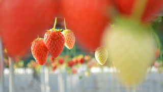 石川県でいちご狩りを体験‼いちごの食べ放題が楽しめる観光農園3選