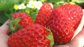 静岡県でいちご狩りを楽しもう‼いちごの食べ放題が楽しめる観光農園28選
