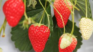 兵庫県でいちご狩り‼いちごの食べ放題や収穫体験が楽しめる観光農園19選