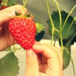 長崎県でいちご狩り‼いちごの食べ放題や収穫体験ができる観光農園6選