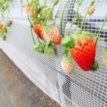 宮崎県でいちご狩り‼いちごの食べ放題や収穫体験ができる観光農園6選