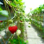 山口県でいちご狩り‼いちごの食べ放題や収穫体験ができる観光農園12選