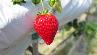 島根県でいちご狩り‼いちごの食べ放題や収穫体験ができる観光農園8選