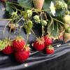 愛媛県でいちご狩りを楽しもう‼いちごの食べ放題ができる観光農園16選