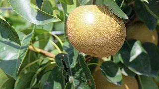 兵庫県で梨狩り‼梨の食べ放題や収穫体験ができる観光農園6選