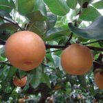 福井県で梨狩り‼梨の収穫体験や食べ放題ができる観光農園3選