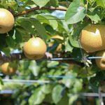 岐阜県で梨狩り‼梨の食べ放題や収穫体験が楽しめる観光農園3選