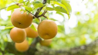 千葉県で梨狩り‼梨の食べ放題や収穫体験ができる観光農園11選