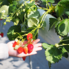 青森県でいちご狩りを楽しもう‼いちごの食べ放題ができる観光農園6選