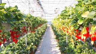 宮城県でいちご狩りを楽しもう‼いちごの食べ放題ができる観光農園6選