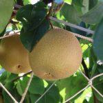 高知県で梨狩り‼梨の収穫体験や食べ放題が楽しめる観光農園3選