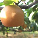 鳥取県で梨狩り‼梨の食べ放題や収穫体験ができる観光農園20選