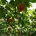 山口県で梨狩り‼梨の食べ放題や収穫体験ができる観光農園18選