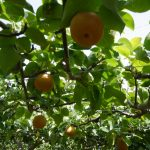 大分県で梨狩り‼梨の収穫体験や食べ放題ができる観光農園8選