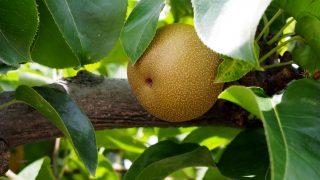 佐賀県で梨狩りを楽しもう‼梨の収穫体験ができる観光農園2選