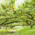 福岡県で梨狩り‼梨の食べ放題や収穫体験ができる観光農園15選