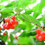 栃木県でさくらんぼ狩り‼さくらんぼの食べ放題が楽しめる観光果樹園3選