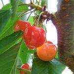 新潟県でさくらんぼ狩り‼食べ放題や収穫体験が楽しめる果樹園4選