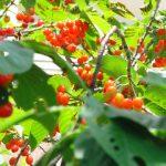 北海道でさくらんぼ狩り‼さくらんぼの食べ放題が楽しめる観光果樹園28選