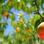 福島県で桃狩り‼桃の食べ放題が楽しめる観光果樹園16選