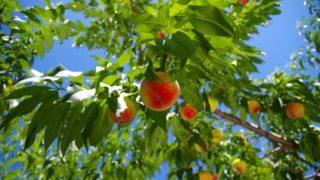 千葉県で桃狩り‼桃の食べ放題が楽しめる観光果樹園1選