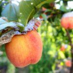 石川県で桃狩り‼桃の食べ放題が楽しめる観光果樹園1選