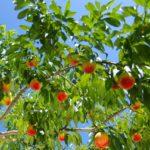 群馬県で桃狩り‼桃の食べ放題が楽しめる観光果樹園5選