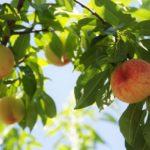 兵庫県で桃狩り‼桃の食べ放題や収穫体験が楽しめる果樹園2選