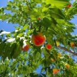 和歌山県で桃狩り‼桃の食べ放題が楽しめる果樹園1選