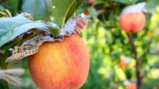 岡山県で桃狩り‼桃の食べ放題や収穫体験が楽しめる果樹園4選