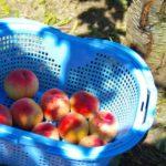 長野県で桃狩り‼桃の食べ放題や収穫体験が楽しめる果樹園12選